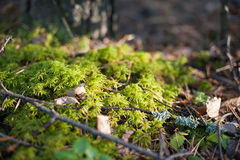 Small mushrooms in the moss. Autumn Royalty Free Stock Photo