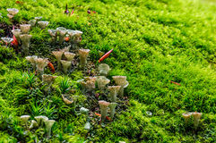 Small mushrooms in the moss closeup Royalty Free Stock Photo