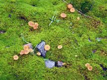 Small mushrooms on moss. Royalty Free Stock Photo