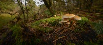 Small mushrooms. Sulphur tuft, latin name is Hypholoma fasciculare Royalty Free Stock Photo