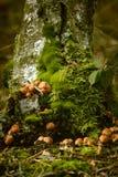 Small mushrooms. Sulphur tuft, latin name is Hypholoma fasciculare Royalty Free Stock Photos