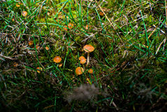 Small mushrooms toadstool warm autumn Stock Images