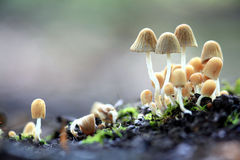 Small mushrooms toadstools  deadly dangerous Royalty Free Stock Photos