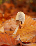 Small mushroon. Small mushroom in a colorful autumn leaves Royalty Free Stock Photo