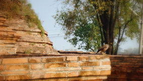 Small Myna bird on the ruin in ancient city Royalty Free Stock Image