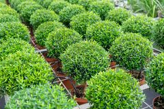 Small myrtle round plants. For sale at greenhouse royalty free stock images