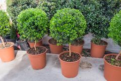Small myrtle round plants. For sale at nursery royalty free stock image