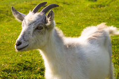 Small nanny goat Stock Image