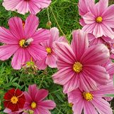 Bright pink photo of cosmos flowers in grass with bee stock photos