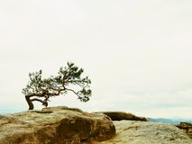 Small nature bonsai above deep misty valley full of morning heavy wisps of blue orange fog. Sandstone peaks increased from mist, d Royalty Free Stock Images