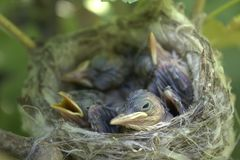 A small nest of a bird on a bush of a currant. Royalty Free Stock Image