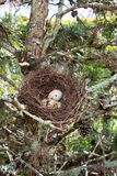 Small nest with brown white eggs in tree. A small nest with brown white eggs in tree stock photos