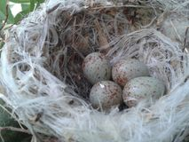 Small nest with eggs Stock Photo