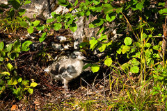 Small nestling hiding among plant Royalty Free Stock Photography