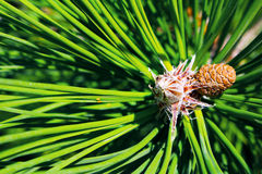 Small new fir cone growing on branch of fir tree Stock Photo