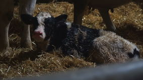 A small newborn calf lies and trembles stock footage