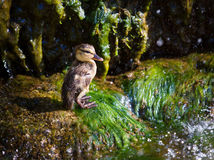 small newborn duckling. young duck basking in the spring sunshine. Birds and animals in wildlife royalty free stock photography