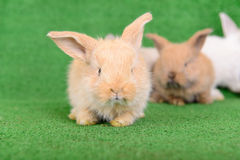 Small newborn rabbits Stock Images