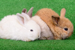 Small newborn rabbits Royalty Free Stock Photography