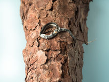 Small newborn snake with hanging skin lying on tree Royalty Free Stock Images