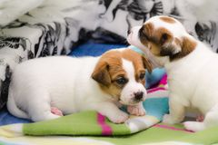 Small newborn white jack russell terrier dogs are playing on a colorful blanket. Small newborn white jack russell terrier dogs are playing on colorful blanket stock photography
