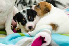 Small newborn white jack russell terrier dogs are playing on a colorful blanket. Small newborn white jack russell terrier dogs are playing on colorful blanket stock photo