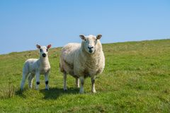 Single new born lamb with ewe against blue sky stock image