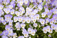 Small nice pansies Royalty Free Stock Images
