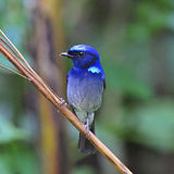 Small Niltava. Colorful blue bird, male Small Niltava(Niltava macgrigoriae), standing on a branch, breast profile Stock Images