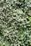 Small nods of green succulent plant Stock Photos