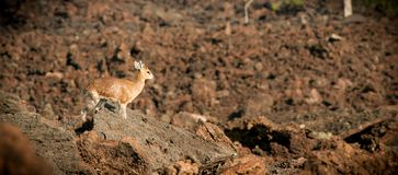 Antelope, Klipspringer sentinel keeping watch on  a larva flow, Tsavo, Kenya. Small non bovine antelope acting as security on an arid moonscape of brown igneous Stock Images