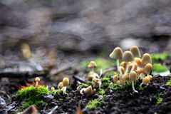 Small non-edible mushrooms Stock Images