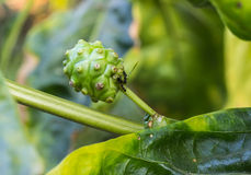 Small Noni fruit Stock Photos