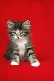 A small Norwegian kitten tabby gray black and white in a sitting position with forward and attentive look on a red background Royalty Free Stock Photo