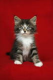 A small Norwegian kitten tabby gray black and white in sitting position with look down on a red background Stock Photography