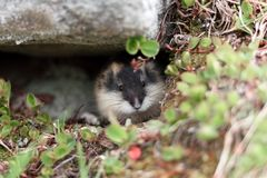 Small norwegian lemming. Norwegian lemming, hidden in its shelter under a stone royalty free stock photography