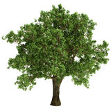 Small Oak Tree Isolated Stock Image