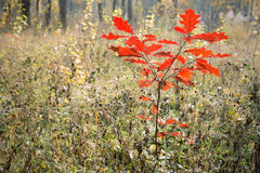 Small oak tree with red leaves in autumn Royalty Free Stock Images