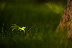 Small oak tree in sunbeam. Small oak tree in tall grass lit by a spot of light Royalty Free Stock Photos