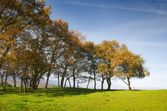 Small oak trees aligned in a green grass field with blue sky Royalty Free Stock Images