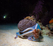 Small octopus sitting on coral during night dive Stock Photos