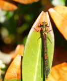 Small odonata Royalty Free Stock Image