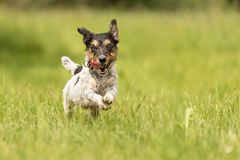 Small old dog runs and flies over a green meadow in spring - Jack Russell Terrier Hound royalty free stock photography