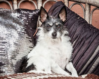 Small Old Dog Sitting on Couch with Blanket and Cushions Royalty Free Stock Photography