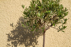 Small Olea europea tree casting shadow Royalty Free Stock Photos