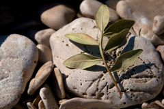 Small olive branch Stock Photos