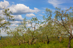 Small olive grove Royalty Free Stock Photos