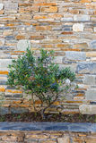 Small olive tree in front of a natural stone wall Stock Photo