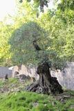A small olive tree Royalty Free Stock Photo