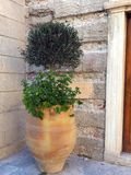 Small Olive Tree in Terracotta Pot Royalty Free Stock Images